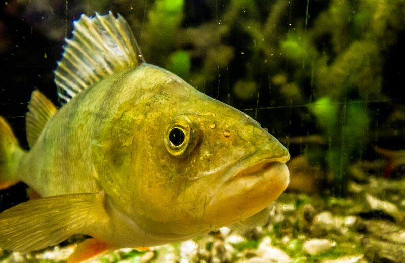 Fisk i akvarium Müritzeum